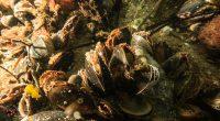 Miesmuschel (Mytilus edulis)